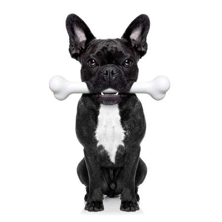 obedecer: perro bulldog francés que sostiene un hueso grande con la boca a la espera de propietario para ir a dar un paseo, aislado en fondo blanco
