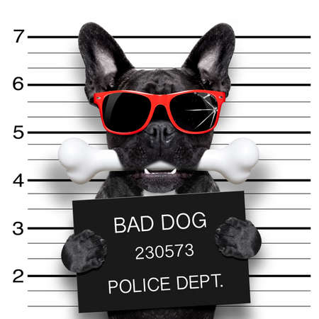 delinquent: funny cute french bulldog holding a placard while a mugshot is taken, bone in mouth and guilty , wearing red sunglasses