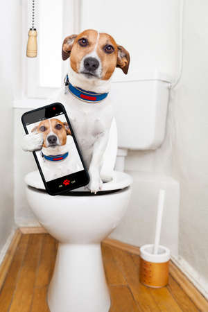 dog poop: jack russell terrier, sitting on a toilet seat with digestion problems or constipation looking very sad, taking a selfie