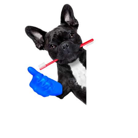 dogo: perro bulldog franc�s que sostiene el cepillo de dientes con la boca en el dentista o veterinario dental, aislado en fondo blanco, pulgar para arriba Foto de archivo