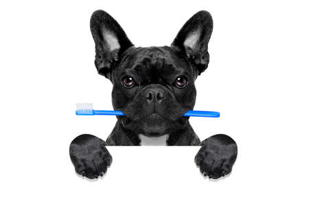 french bulldog dog holding toothbrush with mouth at the dentist or dental veterinary, behind  a blank empty placard or blackboard, isolated on white background Archivio Fotografico