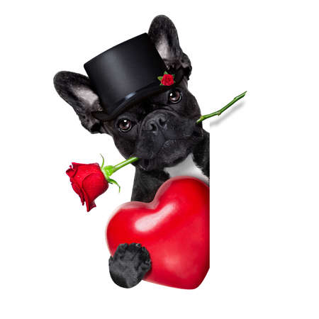 valentines  french bulldog dog in love holding a rose with mouth behind a blank empty blackboard or placard, isolated on white background