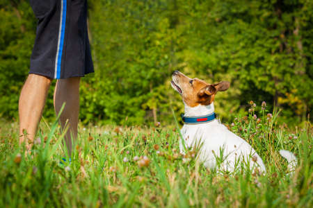 jack russell dog and  owner  waiting for a play or a walk , outdoors being patient and obedient