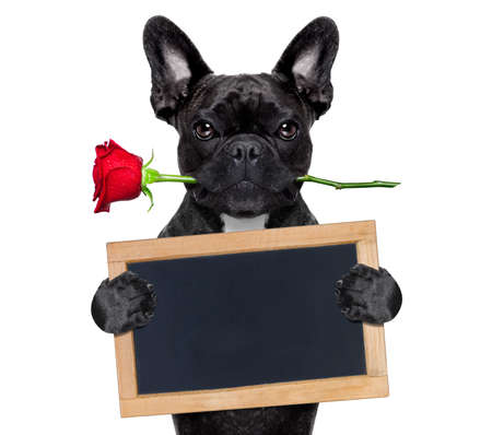 french: valentines  french bulldog dog in love holding a rose with mouth and a blank empty blackboard or placard, isolated on white background
