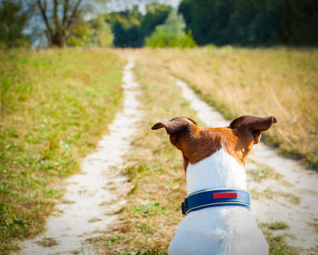 jack russell  dog  sitting and waiting  and looking or watching for anything to happen , outside outdoors Stock Photo