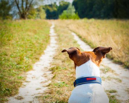 puppy love: jack russell perro sentado y esperando y mirando o viendo para cualquier cosa que suceda, fuera al aire libre