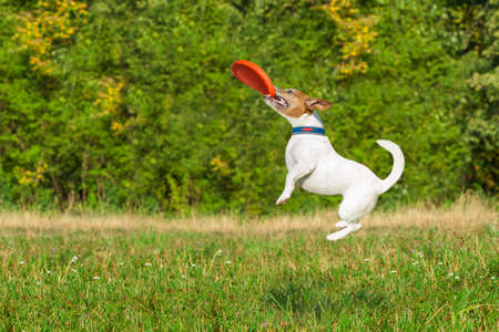 flying disc: jack russell  dog  catching a flying disc in the air , jumping very high  after a fast run Stock Photo
