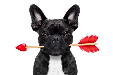 flechas: valentines perro bulldog franc�s en el amor que sostiene una cupidos flecha con la boca, aislado en fondo blanco