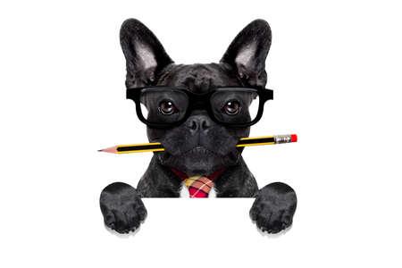 개념: 흰색 배경에 고립 된 빈 흰색 배너 나 현수막 뒤에 입에 펜이나 연필로 사무실 사업가 프랑스 불독 강아지, 스톡 콘텐츠