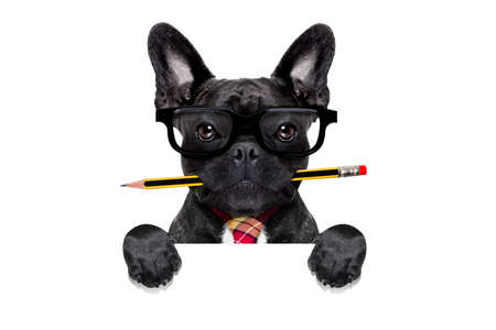 office businessman french bulldog dog with pen or pencil in mouth behind a  blank white banner or placard, isolated on white background