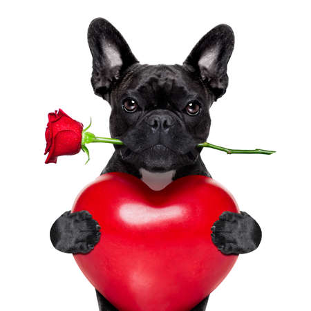 french: valentines french bulldog dog in love holding a  red rose  with mouth and  holding, a big heart, isolated on white background