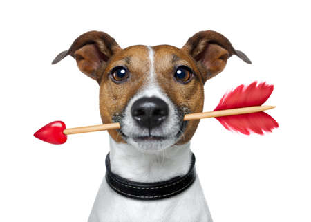 valentines jack russell dog in love holding a cupids arrow with mouth , isolated on white background