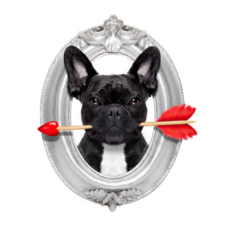 animals and pets: valentines french bulldog dog in love holding a cupids arrow with mouth in a retro wood frame isolated on white background
