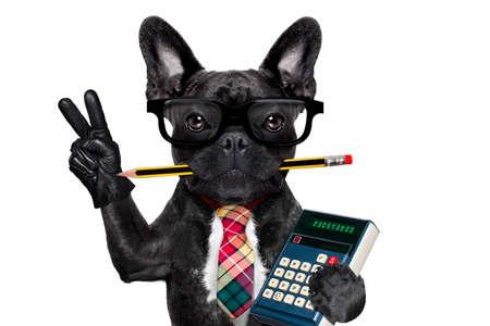 calculadora: hombre de negocios oficina perro bulldog francés con la pluma o un lápiz en la boca la celebración de una calculadora y paz o la victoria dedos aislados sobre fondo blanco