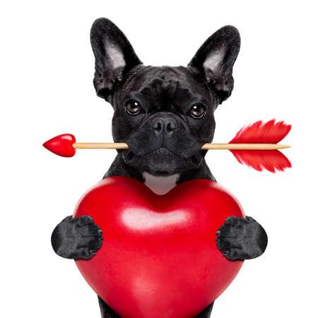 amicizia: valentines francese cane bulldog in amore in possesso di un amorini freccia con la bocca e in possesso di un grande cuore, isolato su sfondo bianco