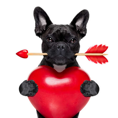 friendships: valentines french bulldog dog in love holding a cupids arrow with mouth and holding a big heart, isolated on white background