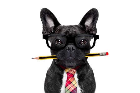 loco: hombre de negocios oficina perro bulldog franc�s con la pluma o un l�piz en la boca aislada en el fondo blanco