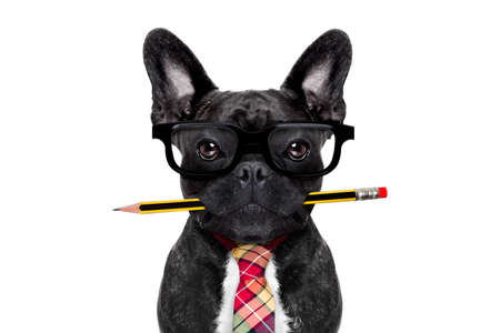 dog: office businessman french bulldog dog with pen or pencil in mouth   isolated on white background