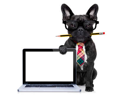 office businessman french bulldog dog with pen or pencil in mouth behind a  blank pc computer laptop screen , isolated on white background Stockfoto