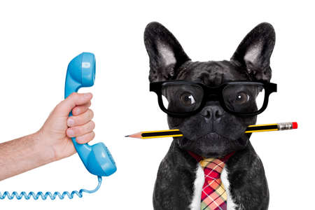 office businessman french bulldog dog with pen or pencil in mouth ,on the phone ,   isolated on white background