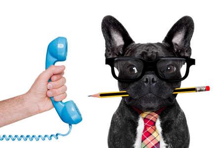 hombre de negocios oficina perro bulldog francés con la pluma o un lápiz en la boca, en el teléfono, aislado en fondo blanco Foto de archivo