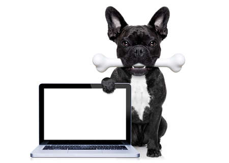 white dog: french bulldog dog  hungry with a big bone in mouth, behind a blank pc computer laptop screen or display, isolated on white background Stock Photo