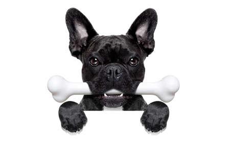 huesos: perro bulldog francés hambre con un gran hueso en la boca, detrás de una pancarta en blanco blanco o pancarta, aislados en fondo blanco
