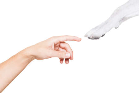 jack russell dog paw very close to touch owners finger and hand , isolated on white background