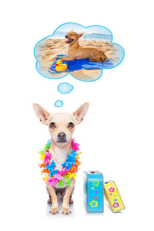chihuahua dog thinking about the summer vacation holidays at the beach, isolated on white background, ready with luggage and bags to depart