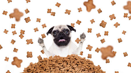 hungry and surprised pug dog behind a big mound or cluster of food , food raining all over,isolated on white background