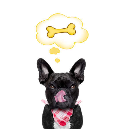 daydream: hungry french bulldog dog thinking and hoping of a big bone, in a big speech bubble, isolated on white background