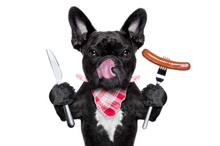 french bulldog puppy: hungry french bulldog dog with tableware or utensils ready to eat dinner or lunch , with a sausage, tongue sticking out , isolated on white background