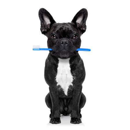 Französisch Bulldog Hund hält Zahnbürste mit Mund beim Zahnarzt oder Zahn Veterinär-, isoliert auf weißem Hintergrund Lizenzfreie Bilder