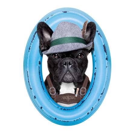 animal idiot: french bulldog dog dressed up as bavarian oktoberfest  inside a blue wood frame , isolated on white background