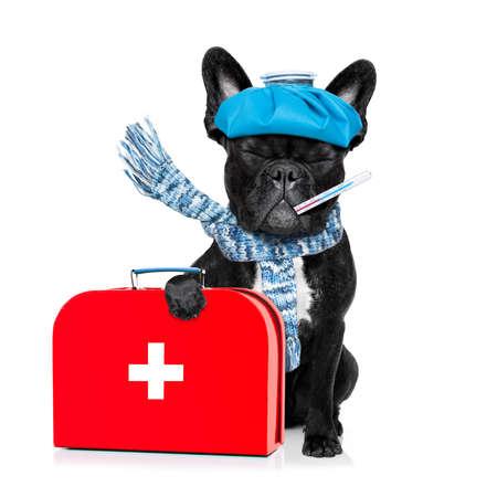 bulldog: perro bulldog francés con dolor de cabeza y la resaca con la bolsa de hielo o bolsa de hielo en la cabeza, los ojos sufrimiento cerrado, aislado sobre fondo blanco, con botiquín de primeros auxilios