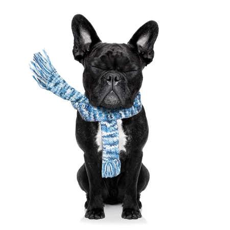 frio: perro bulldog francés enfermo del mal y el frío, los ojos cerrados, que lleva una bufanda, aislado en fondo blanco