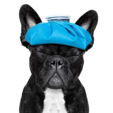 hangover: french bulldog dog  with  headache and hangover with ice bag or ice pack on head, eyes closed suffering , isolated on white background Stock Photo