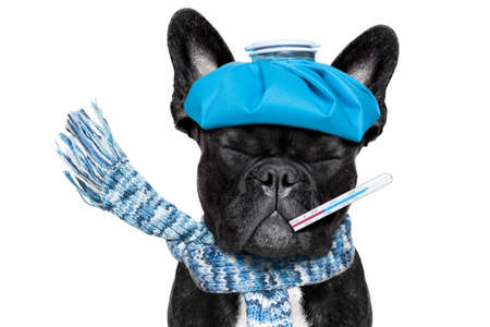 headache: french bulldog dog  with  headache and hangover with ice bag or ice pack on head, eyes closed suffering , isolated on white background Stock Photo