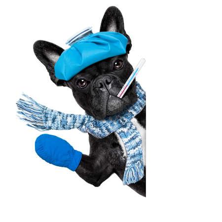 dolor de cabeza: perro bulldog francés con dolor de cabeza y la resaca con la bolsa de hielo o bolsa de hielo en la cabeza, el sufrimiento, aislado sobre fondo blanco, detrás de la bandera blanca en blanco o pancarta