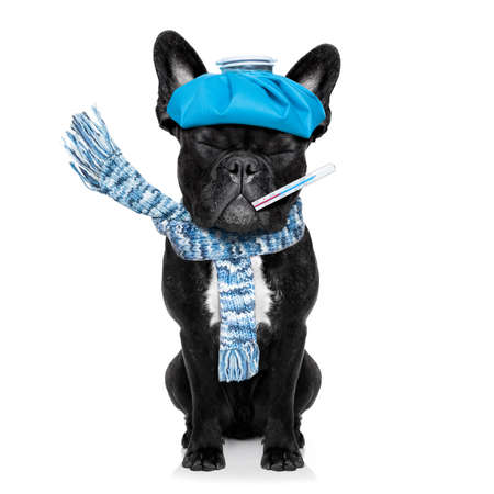 cold cure: french bulldog dog  with  headache and hangover with ice bag or ice pack on head, eyes closed suffering , isolated on white background Stock Photo
