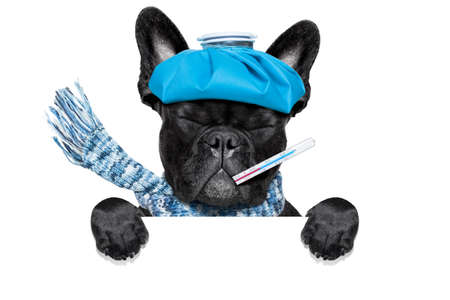 cold cure: french bulldog dog  with  headache and hangover with ice bag or ice pack on head, eyes closed suffering , isolated on white background, behind white blank banner or placard