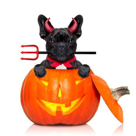 calabaza de halloween bruja perro bulldog francés dentro de una calabaza vestida como una mala diablo, aislado en fondo blanco