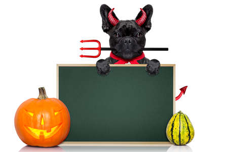 devil horns: halloween  witch french bulldog  dog  dressed as a bad devil with red cape ,behind a wall ,  isolated on white background