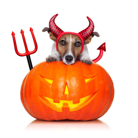 satan: halloween  witch  jack russell dog on a big pumpkin, isolated on white background Stock Photo