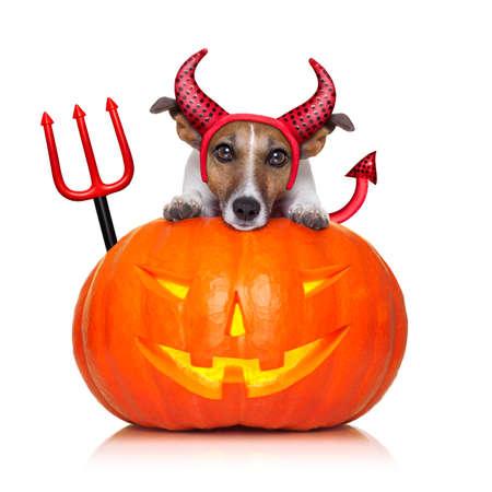 satanas: jack russell bruja de halloween perro en una calabaza grande, aislado en fondo blanco Foto de archivo