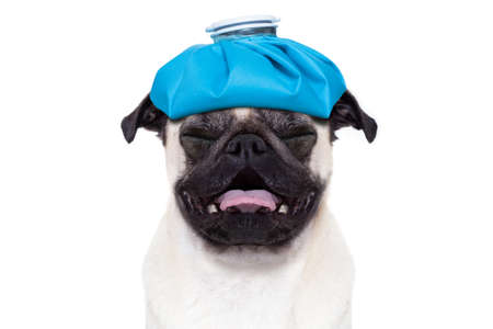headache pain: pug  dog  with  headache and hangover with ice bag or ice pack on head,  suffering and crying ,  isolated on white background, Stock Photo