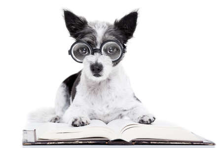 paw smart: terrier dog reading a book with nerd glasses, looking smart and intelligent, isolated on white background Stock Photo