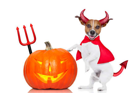haunt: jack russell halloween dog dressed up as devil holding a pumpkin , isolated on white background