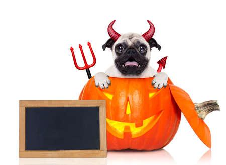perro asustado: Halloween diablo pug perro dentro de la calabaza, miedo y con temor, con la pizarra vacía en blanco o pancarta, aislados en fondo blanco