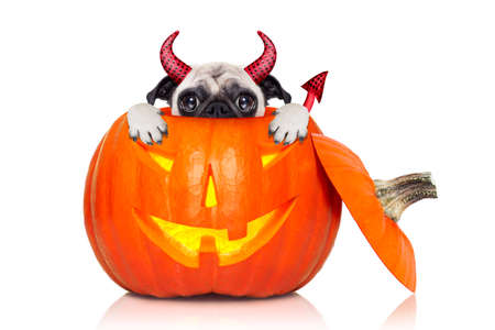 devil horns: halloween devil pug dog inside pumpkin, scared and frightened, hiding from you , isolated on white background